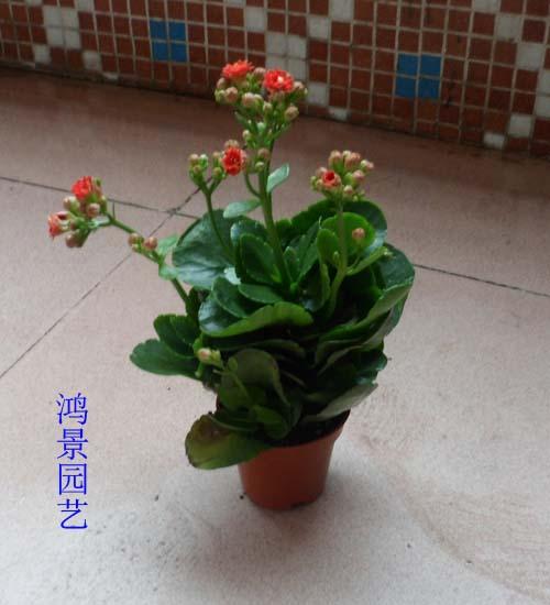 长寿海棠花